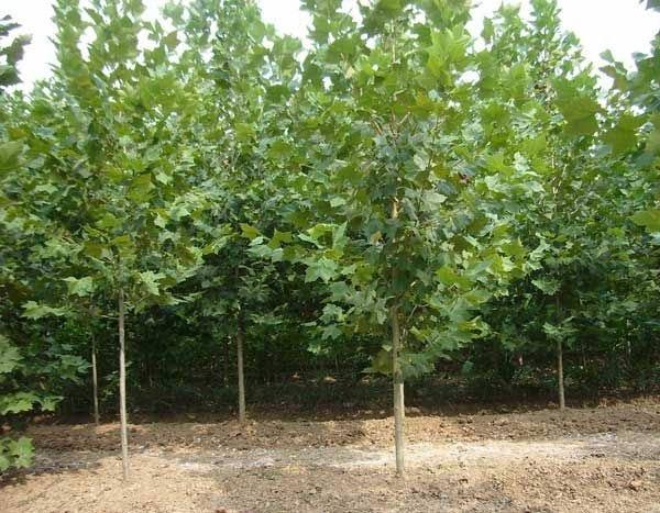 20公分法桐、5公分法桐树、6公分速生法桐、5-20公分法桐采购