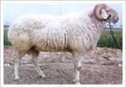 供应小尾寒羊 黑山羊 杜泊绵羊