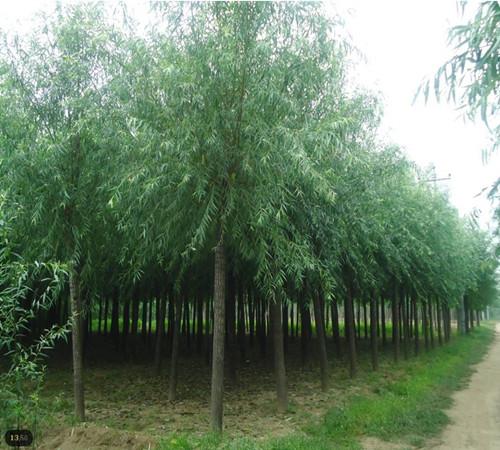 12公分垂柳 12公分垂柳价格 2.8米分枝 3.5米杀头 无病害虫 特级树