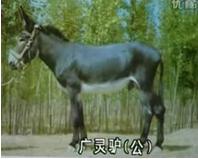 供应种驴 肉驴 三粉驴 佳米驴 泌阳驴
