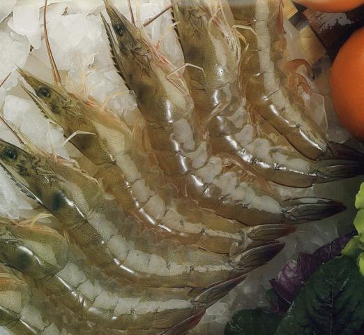 农丰南美白对虾养殖 毋容置疑的好项目
