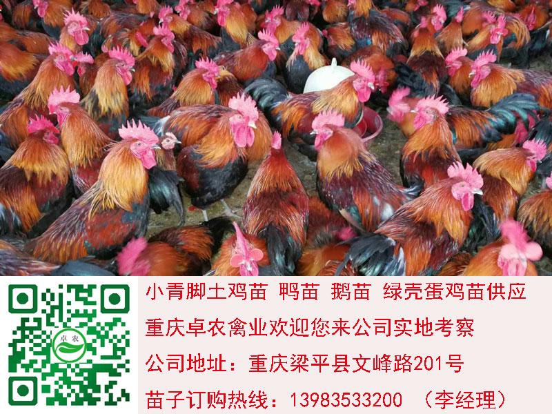 达州香鸡苗图片 达州香鸡苗行情 达州香鸡市场