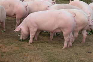 出售二元新丹系后备母猪720头