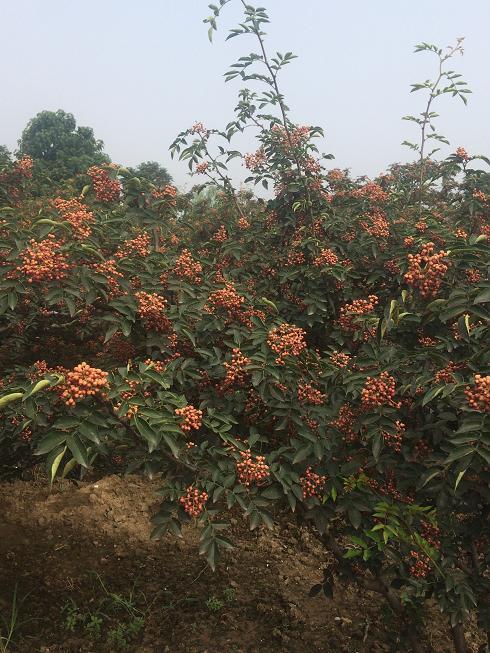 新品种狮子头大红袍无刺花椒苗哪里有批发基地 韩城市林业站供应种子