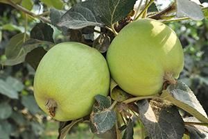 产地供应青苹果