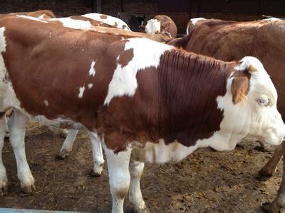 山西美源牧业肉牛价格