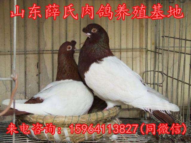 内江元宝鸽价格