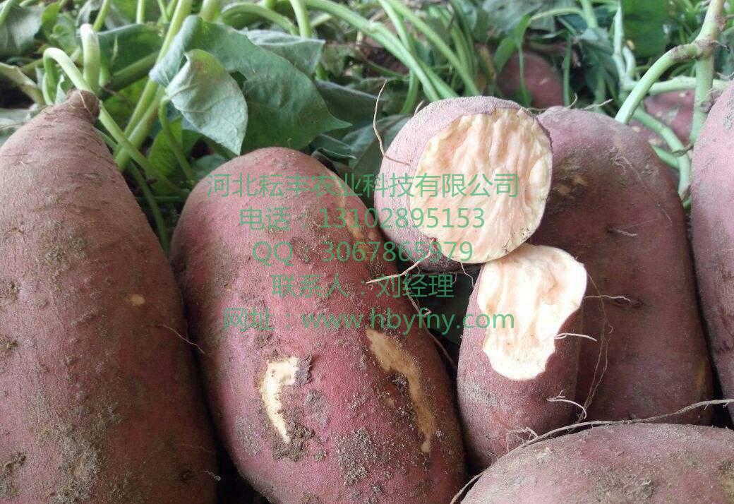 麦盖提龙薯9号市场行情 岳普湖红薯市场价格