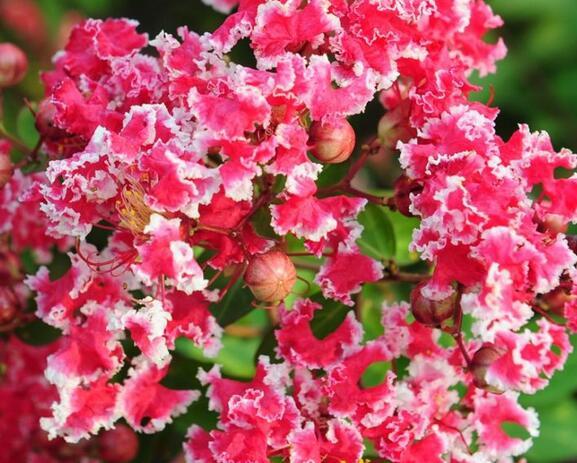 红叶复花矮紫薇 红叶红花紫薇 国内紫薇树苗供应 丛生紫薇苗