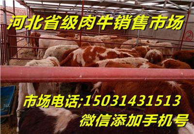 张北县肉牛养殖利润小牛崽价格牛犊价格_供应信息