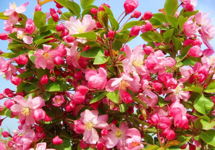 常年出售各类海棠,海棠苗