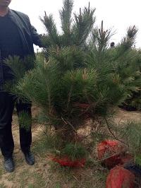 供应油松树苗、山西油松基地
