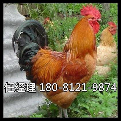岳池县鸡苗多少钱一只蛋鸡