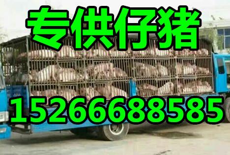 今日山东仔猪批发价格多钱一斤