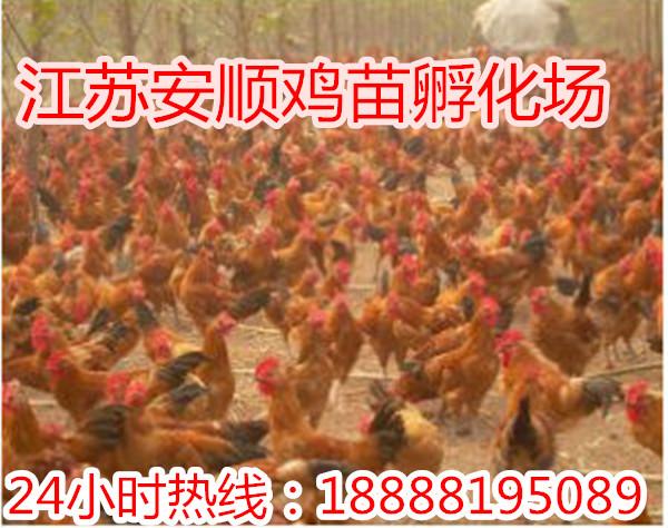 供应芦花鸡价格 九斤黄鸡苗价格 笨鸡苗价格