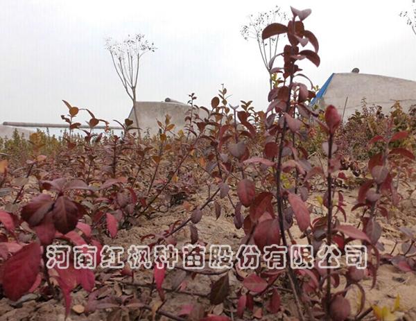 冬红北海道黄杨批发黄杨价格-河南郑州市北海道黄杨生产基地