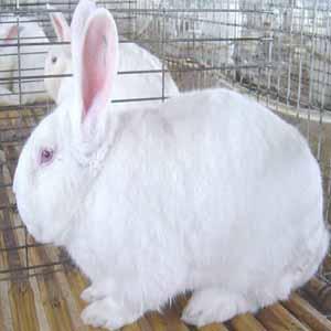 供甘肃榆中肉兔和皋兰兔肉
