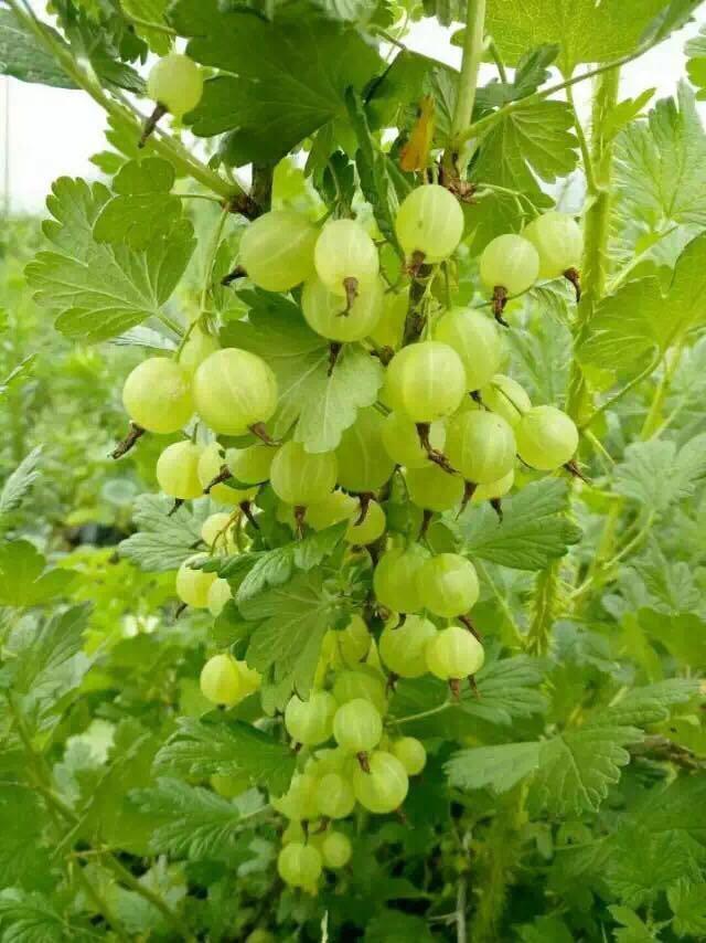 鑫达农业优质灯笼果苗