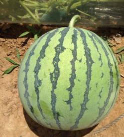 智谷种业8424西瓜种子