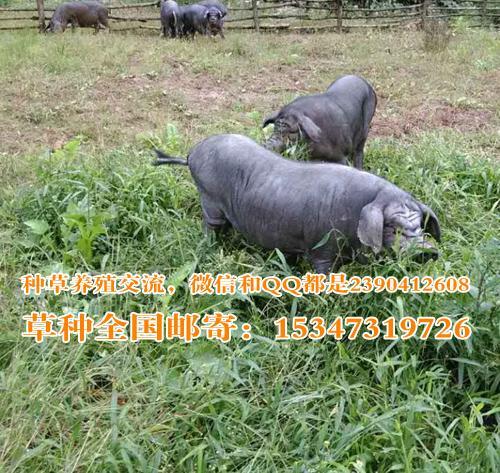 秋季冬季四川养殖雅南猪的青饲料牧草