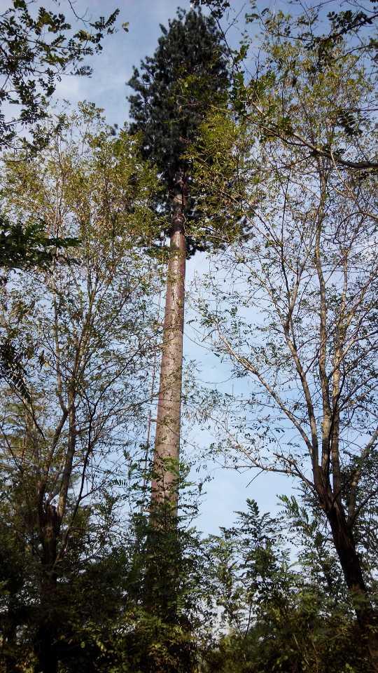 万信铁塔供应景区仿生树,园林仿生塔,林业仿生避雷塔