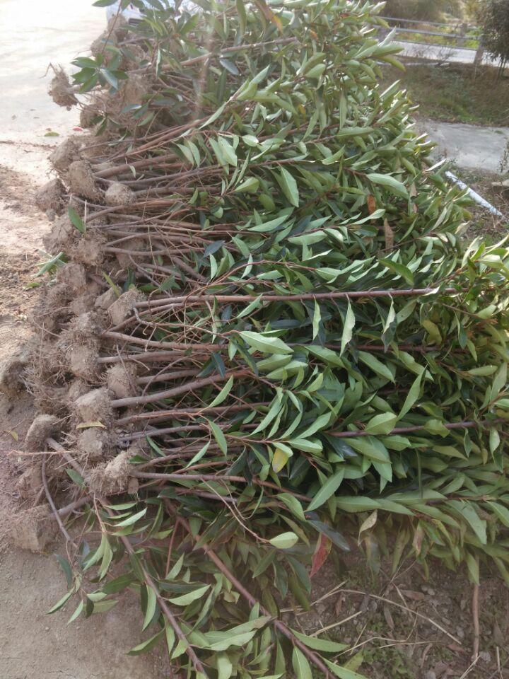 江西省法国冬青绿色围墙、南昌市哪里有绿篱法国冬青卖