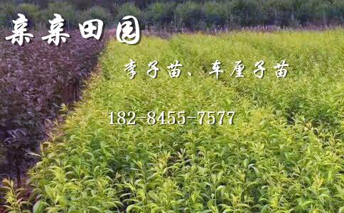 云南玉溪李子苗产地,李子树苗一亩产量多少