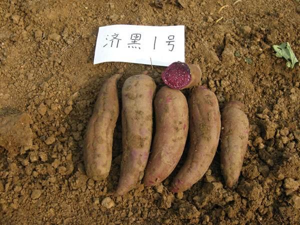 大量采购紫薯加工型紫薯