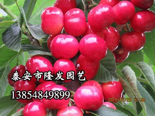 泰安五公分樱桃苗的价格是多少