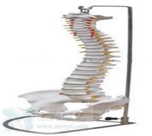 脊柱带骨盆模型(不可