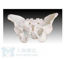 男性骨盆模型
