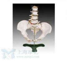 自然大骨盆带五节腰椎