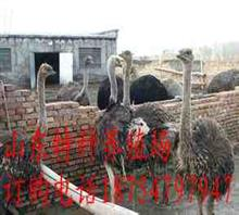 蔚县成年鸵鸟多少钱一只