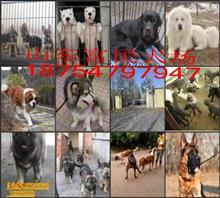 T3宠物香猪肉食狗养殖场但是每个月