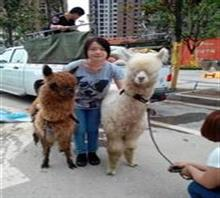 羊驼租赁展览吉林辽源市地区荷兰猪小香猪展览赛跑吸引