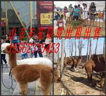 羊驼租赁展览吉林双辽市地区骆驼出租矮马出租羊驼展览