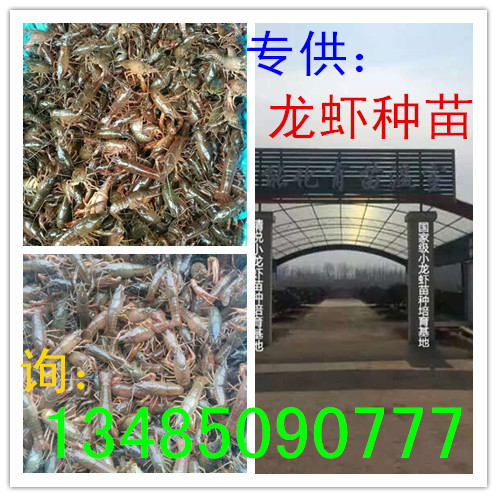 扬州龙虾苗多少钱一斤 扬州哪里有龙虾苗 扬州龙虾苗直销